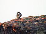 junger Baßtölpel im Herbst, Morus bassanus
