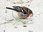 Chaffinch looking for food on beach, Fringilla coelebs
