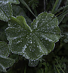 frozen dew drops on Lady´s Mantle leaf, Alchemilla sp.
