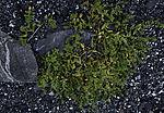 Sea Sandwort, Honckenya peploides