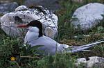 Arctic tern nest ( Sterna paradisea )