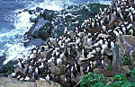 colony of guillemots ( Uria aalge )