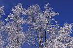 verschneite Birken