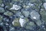 Algen im Eis