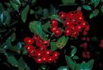 hawthorn berries ( Crataegus sp. )