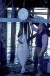 Angler wiegt Heilbutt
