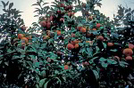 orange tree with fruit
