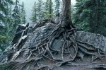 tree roots on rock