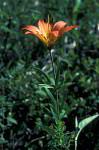 lilly ( Lilium bulbiferum )