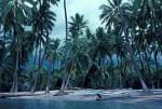 Kokospalmen ( Cocos nucifera )