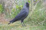 Jackdaw ( Corvus monedula )