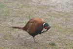 pheasant ( Phasanius colchicus )