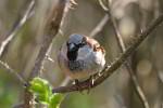 house sparrow ( Passer domesticus )