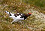 Red grouse running ( Lagopus lagopus )