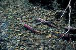 Laichende King Salmon ( salmo sp. )