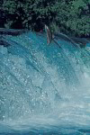 Lachs im Wasserfall