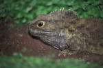 Brückenechse Tuatara ( Sphenodon punctatus )