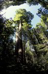 Kauri ( Agathis australis )