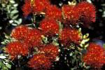 Rata Blüten ( Metrosideros fulgens )
