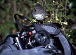 Vogel auf Phototasche ( Petroica australis australis )