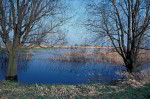 Weiden an der Elbe ( salix sp. )