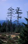 forest dieback in Harz mountains in 1991
