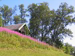 cabin with fireweed ( Epilobium sp. )