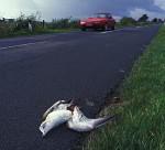 dead gull on road