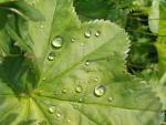 Wassertopfen auf Frauenmantel ( alchemilla vulgaris )