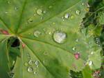 Wassertropfen auf Frauenmantel ( alchemilla vulgaris )