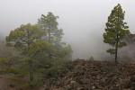 Kanarische Kiefer im Nebel ( Pinus canariensis )