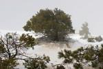 Kanarische Kiefer im Schnee ( Pinus canariensis )