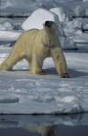 polar bear ( Thalarctos maritimus )