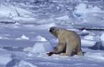 polar bear with seal blubber ( Thalarctos maritimus )