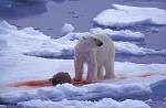polar bear with caught seal