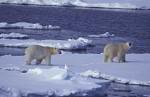 young polar bears jumping in the water ( Thalarctos maritimus )