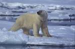 alert polar bear ( Thalarctos maritimus )
