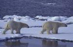 two polar bears ( Thalarctos maritimus )