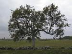Baum auf Öland