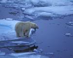 polar bear in drift ice ( Thalarctos maritimus )