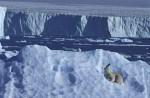 polare bear on iceberg ( Thalarctos maritimus )