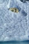 polar bear sleeps on iceberg ( Thalarctos maritimus )