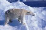 polar bear on iceberg ( Thalarctos maritimus )
