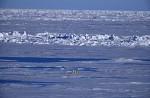 polar bear femal with cub in pack ice ( Thalarctos maritimus )