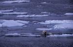 swimming polar bears ( Thalarctos maritimus )
