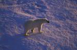 polar bear in evening sun ( Thalarctos maritimus )