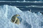 polar bear and gull ( Thalarctos maritimus )