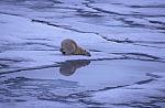 Polar bear cooling down ( ursus maritimus )