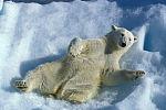 happy polar bear ( ursus maritimus )