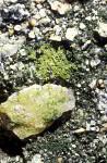 Mikroalgen auf Quarz